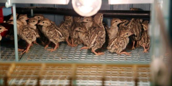 Yozgat'ta yetiştirilen keklikler doğaya salınıyor