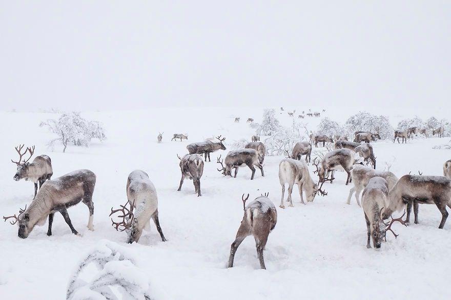 Eksi 35 derecede Ren geyiklerinin izinde