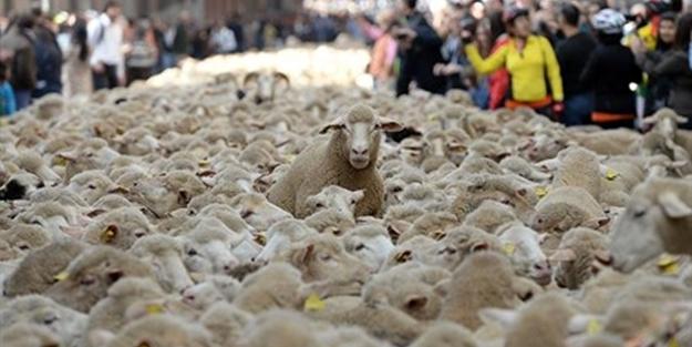 Esrar yiyen koyunlar ortalığı birbirine kattılar