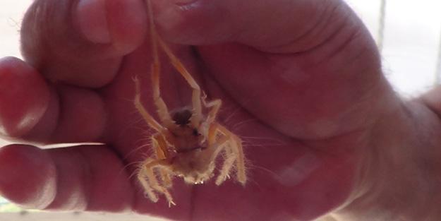 Et yiyen örümceğin görüldüğü yer tedirgin etti