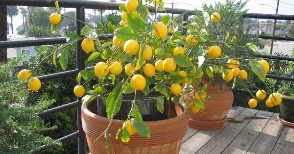 Evde limon ağacı yetiştirme