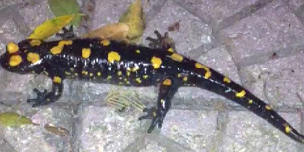 Evin bahçesinde görüldü! Kentte nesli tükenmekte olan Türk semenderi bulundu