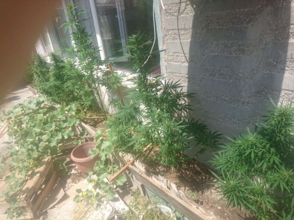Evinin balkonunda hint keneviri yetiştiren şahıs gözaltına alındı