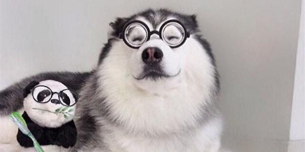 Fenomen köpek Maru pandalara bayılıyor!
