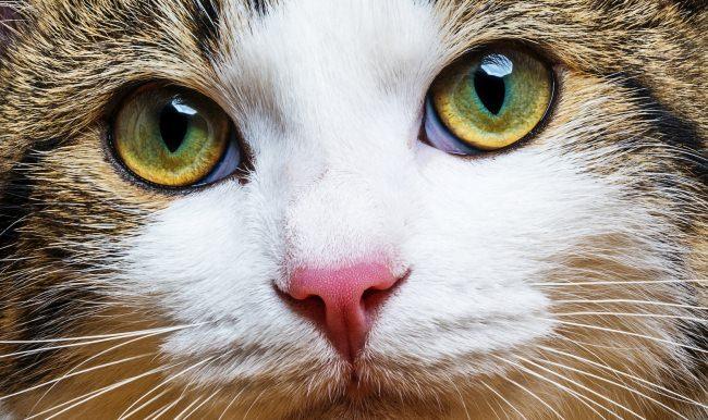 Fransa'da bir kedi 'seçmen' oldu