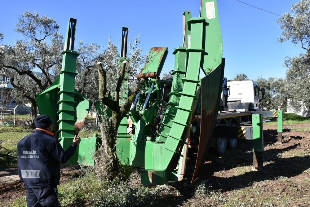 Gemlik Belediyesi'nin ağaç hassasiyeti