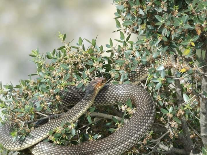 Görülünce korkulan bu yılan, tam bir çiftçi dostu çıktı