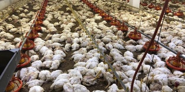 Görünce şoke oldular! Binlerce tavuk telef oldu