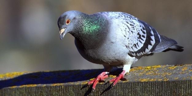 Güvercin sevgisi için 45 gün yaşam mücadelesi verdi
