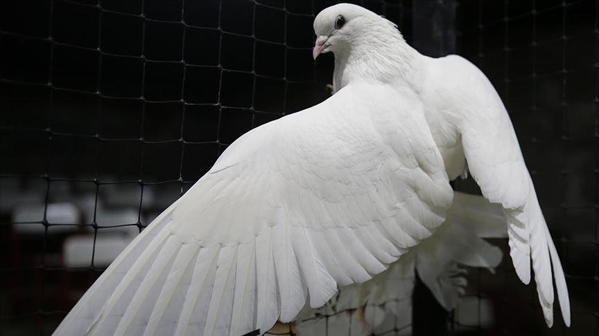 Güvercinler mezatlarda binlerce liraya alıcı buluyor