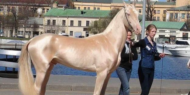 Güzelliğiyle büyüleyen Türk atları