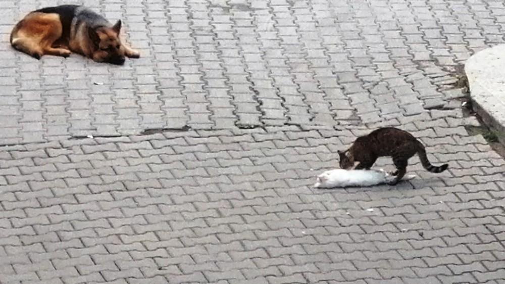 Hareketsiz yatan kediyi, başka kedi patileriyle ayağa kaldırmak için dakikalarca mücadele verdi