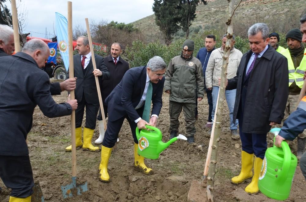 Hatay'da 10 bin çınar ağacı toprakla buluşacak