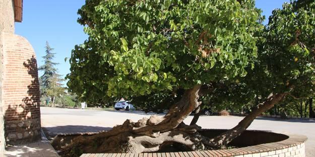 Hayrete düşüren olay! Kadir Gecesi'nde secde eden dut ağacı...