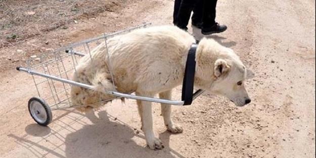 Hayvanseverler yürüyemeyen Kostak'a yardım eli uzattı