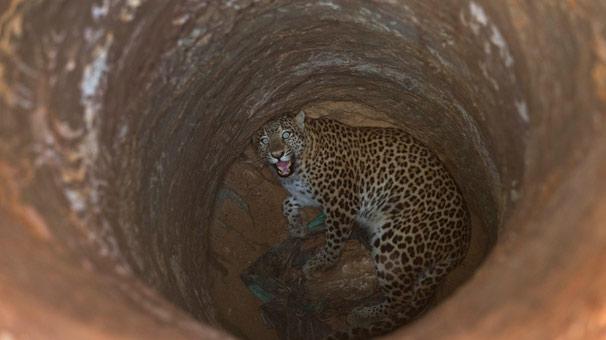 Hindistan'da su kuyusuna düşen leopar kurtarıldı