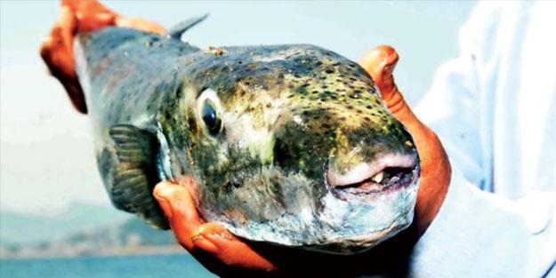 Hükümetten balon balığı önlemi