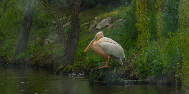 İçimizi ısıttı... Balıkçıbey'de yaralı bulunan pelikanın hikayesi yüzünüzde tebessüm bırakacak