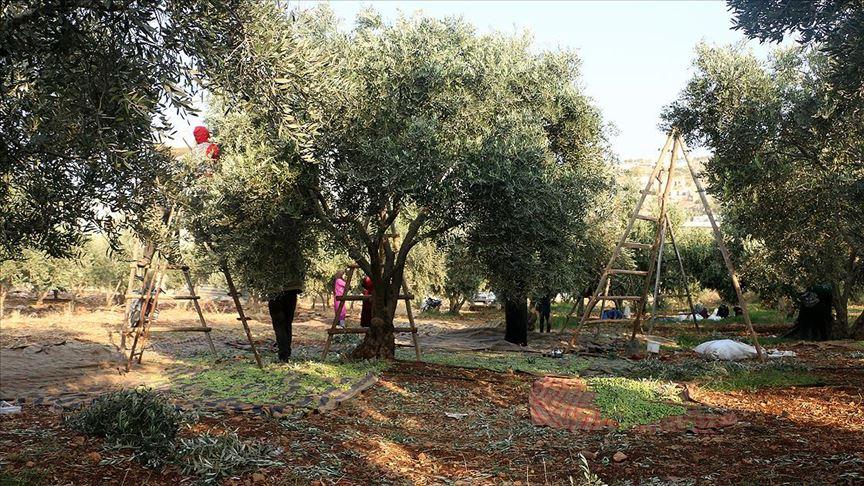 İdlib'de bombardıman ve göç gölgesinde zeytin hasadı