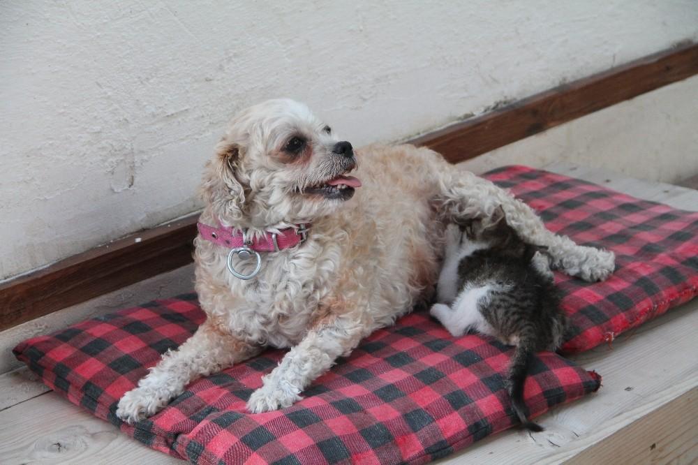 İki kısır köpek 4 kediye annelik yapıyor
