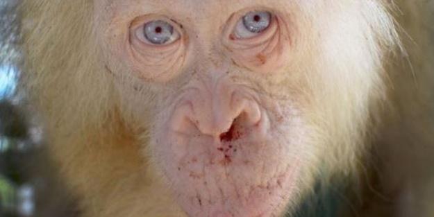 'İlk defa karşılaşılan' albino orangutan korumaya alındı