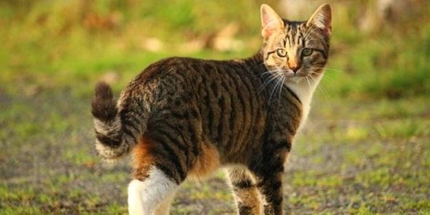 İnsanlardaki özellik kedilerde de çıktı