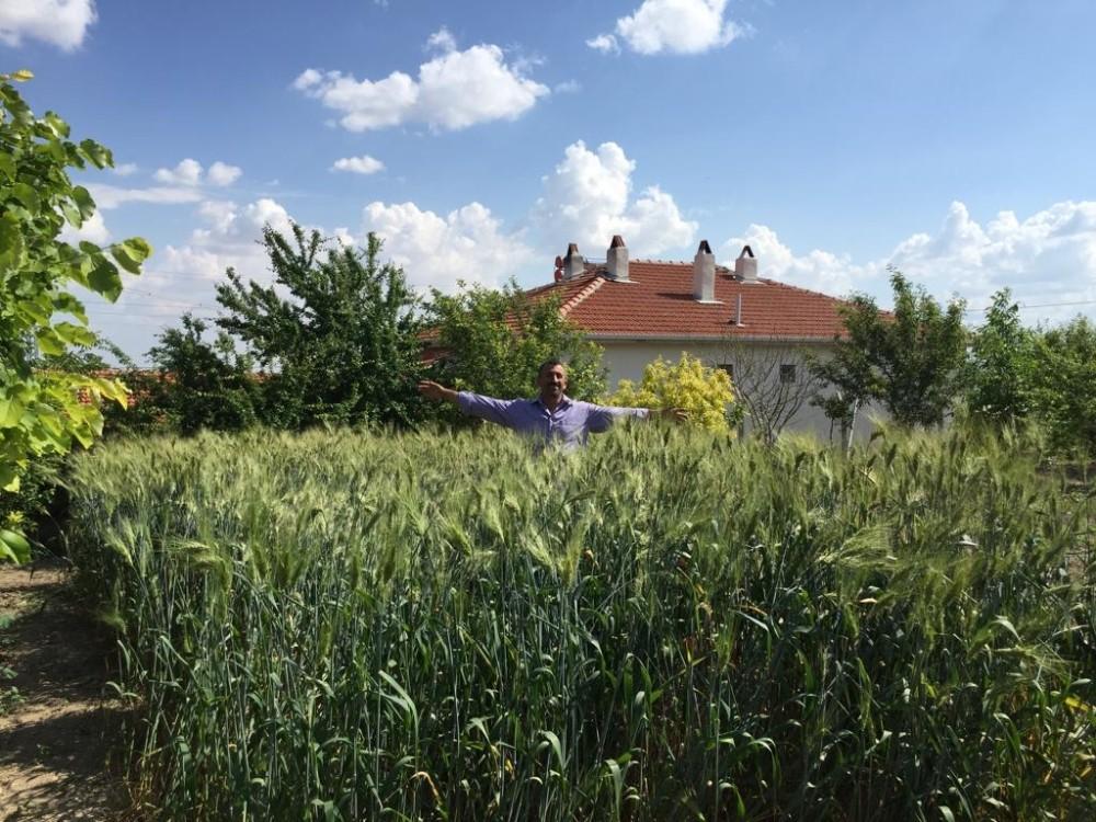 İskilipçi çiftçilere siyez tohumu dağıtıldı