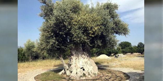 İşte Erdoğan'ın bahsettiği o zeytin ağacı