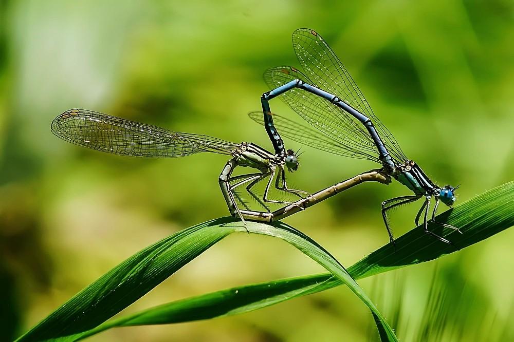 Kalp böcekleri böyle görüntülendi