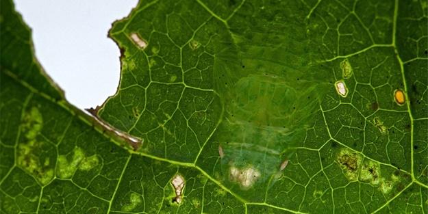 Kamuflaj ustası böcekleri bulabilecek misiniz?