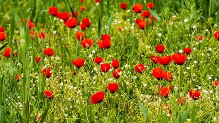 Kansere karşı yeni şifa gelincik çiçeği