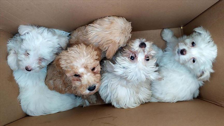 Kapıkule'de karton kutularda 14 köpek yavrusu bulundu