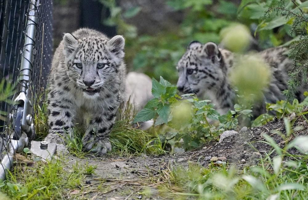 Kar leoparı yavrularının açık hava keyfi