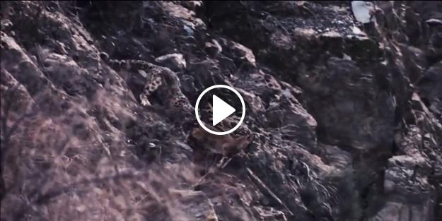 Kar leoparının inanılmaz dağ keçisi avı