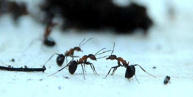 Karıncaların yeni bir özelliği keşfedildi