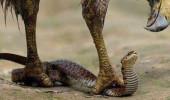 Kartal, yılanın canını okudu! - VİDEO