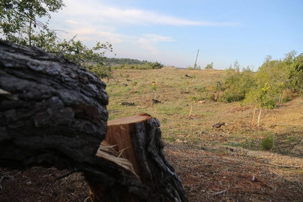 Katledilen orman alanında limon fidanları ortaya çıktı