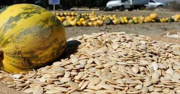 Kayseri'de çerezlik kabak çekirdeği ekimi yapıldı