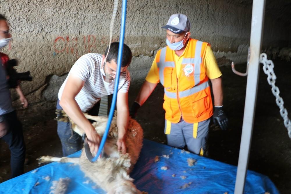 Kayseri'de koyunlar kırkılmaya başlandı