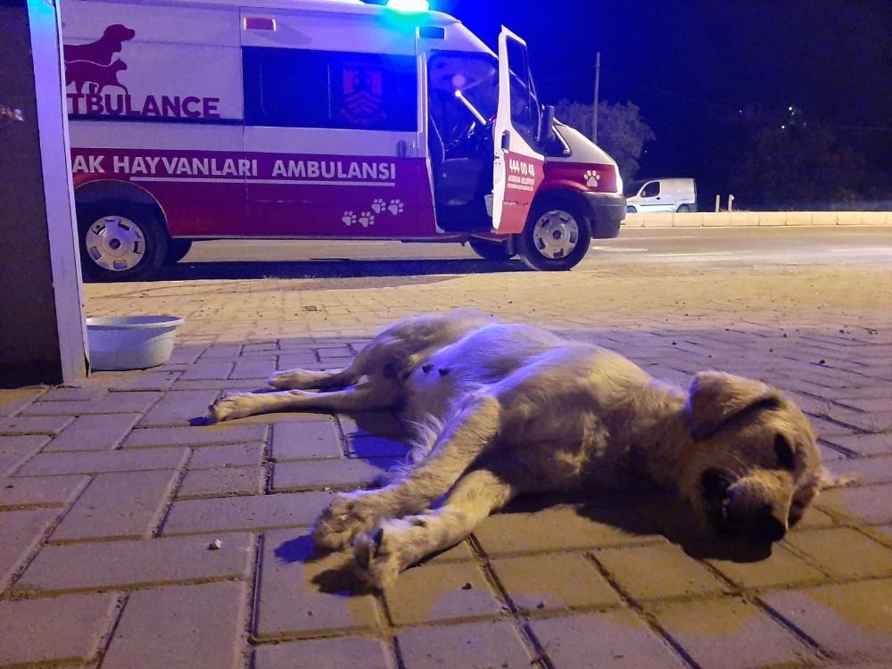 Kazada ölen hamile köpeğin yavrularını kurtarmak için seferber oldular