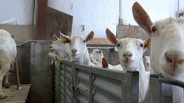 Keçi sütü koronaya karşı korur mu?