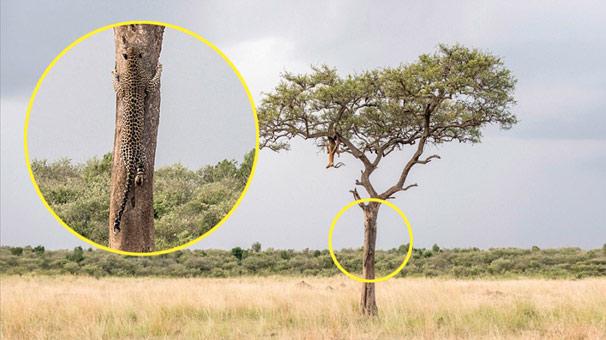 Kenya'da büyük kediyi ağaca tırmanırken kimse göremedi!