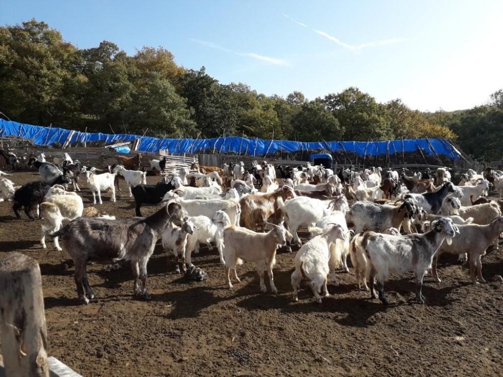 Kırklareli'de 4 milyon 72 bin TL koyun/keçi desteklemesi