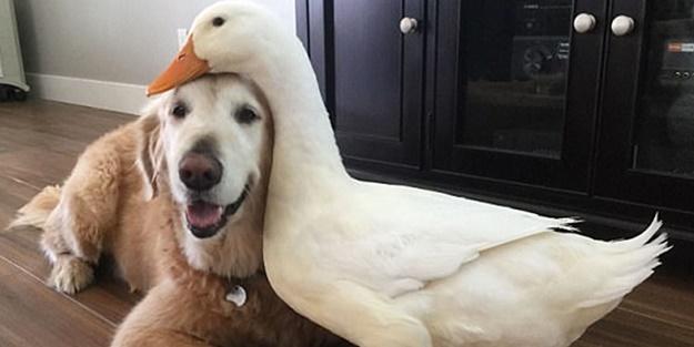 Köpek ve ördeğin sıra dışı dostluğu!