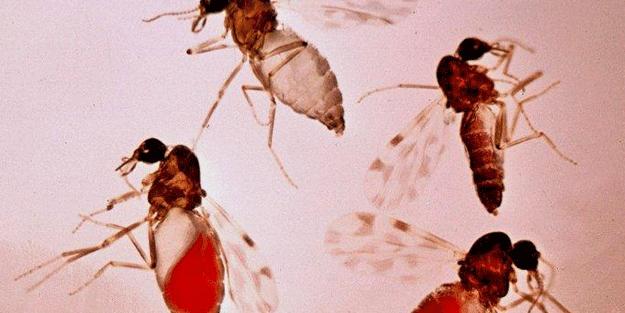 'Kör eden sinek' uyarısı! Türkiye'de görülmeye başlandı