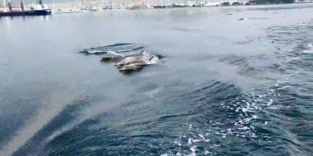 Körfezin yunusları deniz yüzeyi temizleme aracıyla yarıştı