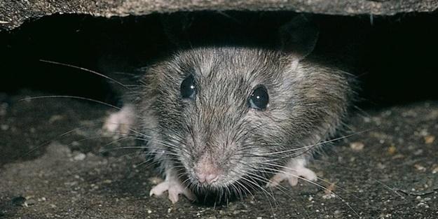 Koronavirüs sıçanları saldırganlaştırdı: Birbirlerini yemeye başladılar