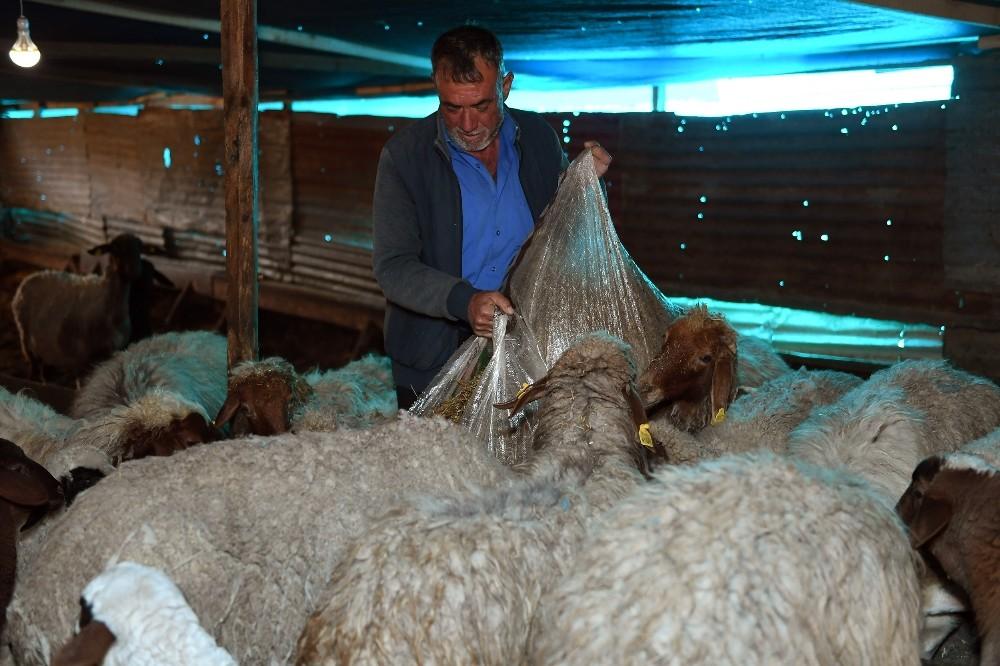Koyun ve kuzular açlıktan kurtarıldı