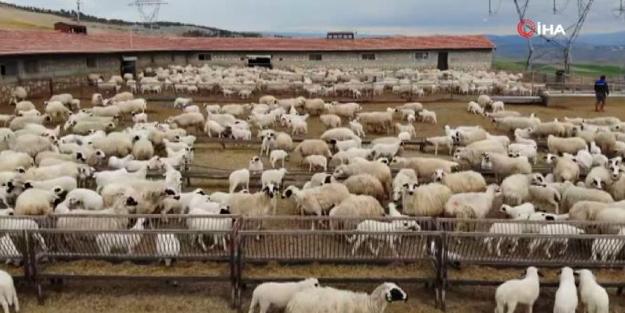 Koyun ve kuzuların buluştuğu anlar izleyenleri mest etti