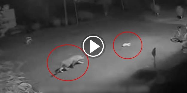 Leopar uyuyan köpeğe böyle saldırdı! (+18)